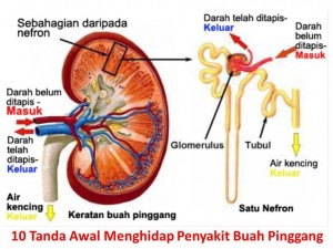Organ Buah Pinggang
